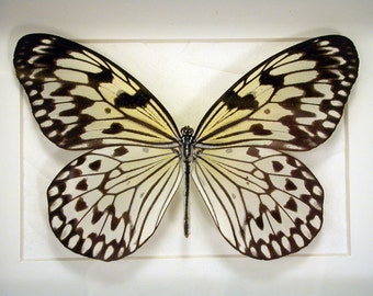 Real Framed Butterfly - Black & white elegance -an Idea Butterfly