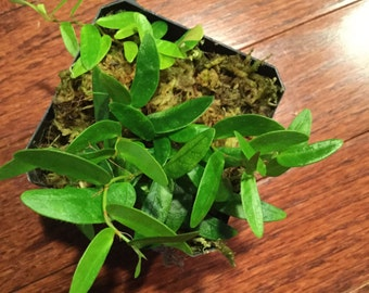 Ficus sp. Panama