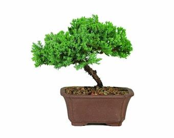 Green Mound Junpier Bonsai *P*