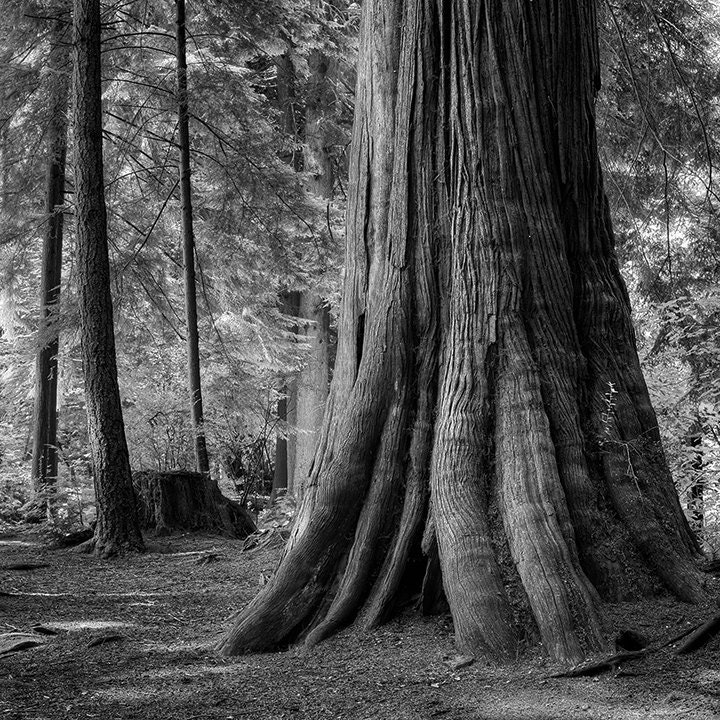 Old Growth Forest Stanley Park Vancouver Fine Art