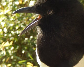 Taxidermy - Magpie -pica pica - Sent out 12 days from payment recived