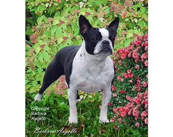 "Shop ""boston terrier gifts"" in Collectibles"