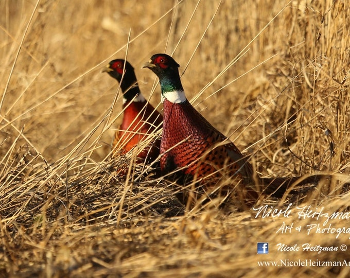 Pheasant Photo Pheasant Photography Fall Photography Pheasant Scene Ring-necked Pheasant Pheasant hunting Photography by Nicole Heitzman