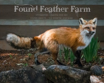 Fabulous Red Fox Taxidermy Mount