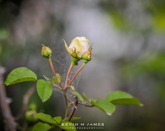 Rose, Canvas Photo Wrap
