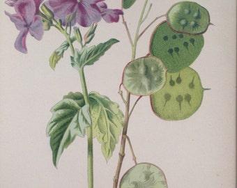 1879 HONESTY Original Antique Botanical Lithograph - Botany - Flower - Wall Decor  - Home Decor - Matted & Ready to Frame