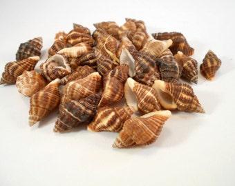 "50 Small Latrinus Gibbucus Shells Seashells 3/4"" - 1 1/4"" size for Crafts Beach Cottage Decor"