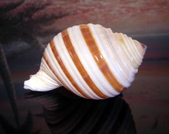 Beautiful Tonna Sulcosa Shell Banded Tun  Shell Hermit Crab Beach Nautical Decor