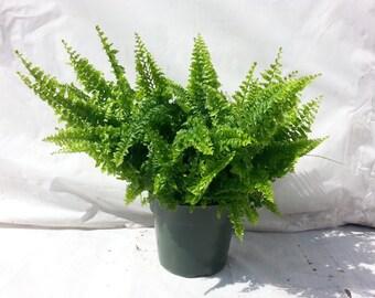 Fluffy Ruffle Fern Plant in 6 inch pot