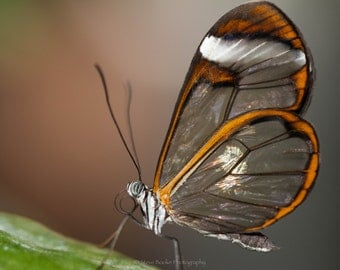Glasswing Butterfly, fine art print, nyc, macro, wall art, butterfly photo