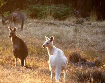 Albino Kangaroo in the morning light fine art photo, travel photography, travel print, Australian travel photo