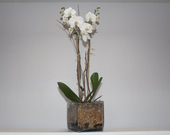 Orchid (Phalenopsis) UPGRADE