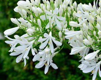 White African Lily of the Nile Agapanthus Seeds
