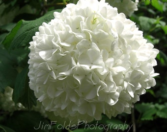 Hydrangea, White Hydrangea, White Flower, Flower Photography