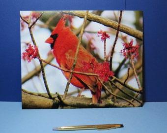 Northern Cardinal Photo Print