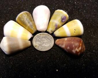 Chunky Hawaiian cone shell lot