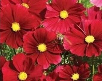 Cosmos Sensation Dazzler Flower Seeds/Bipinnatus - Mexican Aster/Annual   40+