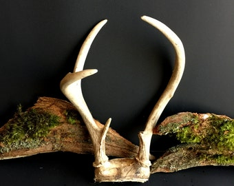Antlers, Deer Antler, Real Deer Antlers, Authentic Deer Horns, Taxidermy