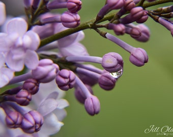 Lilacs and water drop