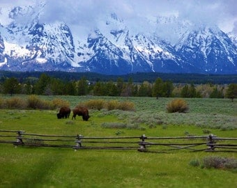 Grand Tetons with 2 buffalo in front in Wyoming