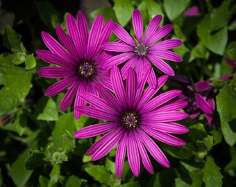 Trio of Purple Flowers, Photographic Print, Wall Art