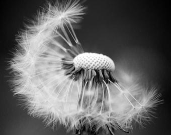 Dandelion b/w