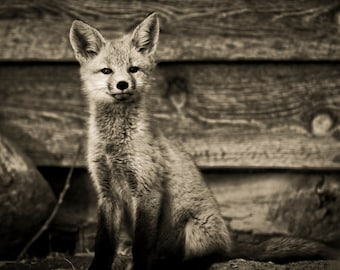 Proud Kit-Fine Art-Wildlife Photography-Fox-Portrait--Home Decor-Black And White-Signed By Artist-Photo Print