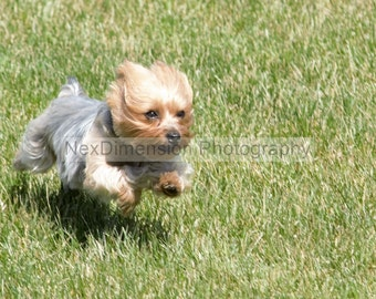 Original Print, Grass, Terrier, Running, Animal, Pet