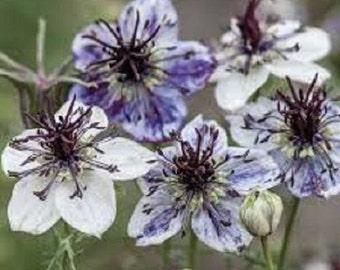 50+ Blue Nigella Love in the Mist / Re-Seeding Annual Flower Seeds