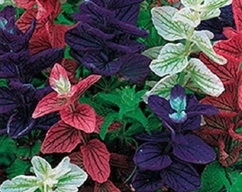 40+ Marble Mix Salvia / Deer and Drought Tolerant / Perennial Flower Seeds