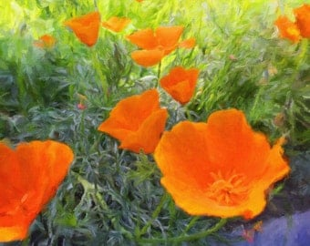 California Poppy Passions