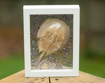 Still life of a horseshoe crab