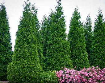 Thuja Green Giant 5-6 Foot