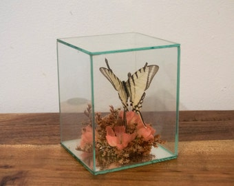 Vintage Swallowtail Butterfly Taxidermy
