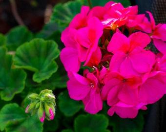 Geranium - Flower