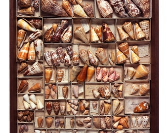 Drawer #35 - The Read Family Shell Collection