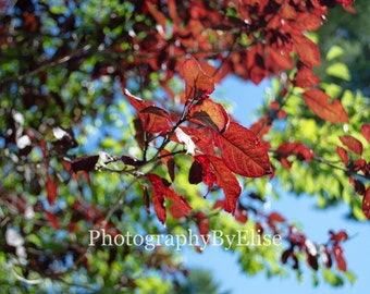 Red Leaves, Autumn Leaves