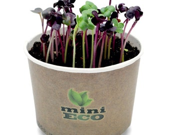 Red Radish Rambo Sango Microgreen Grow Kit. Approximately 400 Seeds included, 4gr. Vegetable Herb Growing Set Plant Salad Indoor Garden Leaf
