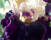 Grapenut,one iris rhizome