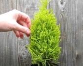 Miniature Garden or Fairy Garden Tree, Lemon Cypress, Mini Plant Can Grow Indoors, Smells like Lemon