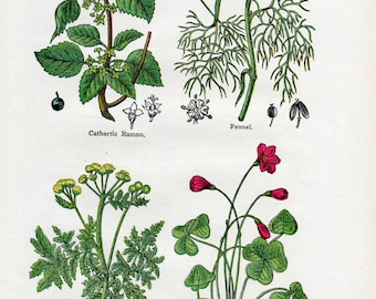 Antique Print of Medicinal and Culinary Herbs, Fennel, Sorrel, Tansy, Ramno