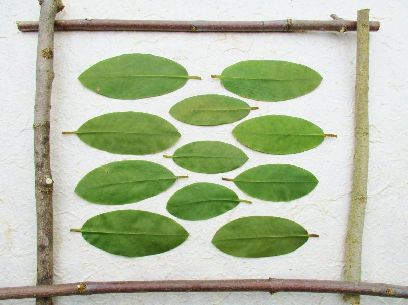 Pressed green leaves dried preserved green rhododendron for Dried flowers craft supplies