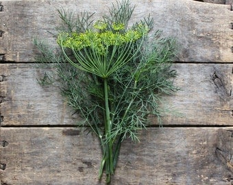 Bouquet Dill, heirloom herb seeds, organic seeds from our farm, herb garden, organic gardening, natural pest control, gardener