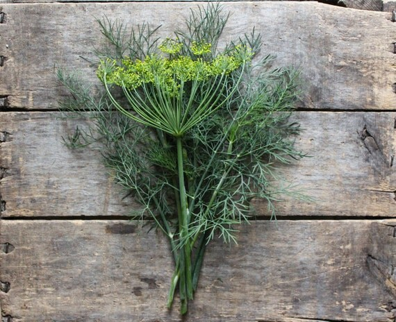 Bouquet Dill // heirloom herb seeds // organic seeds from our farm // herb garden // organic gardening // natural pest control