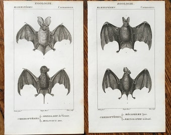 set of 2 - ANTIQUE BAT ENGRAVINGS original antique prints from 1816  - cheiroptera vampire bat - flying fox - fruit bat - no. 5 & 6