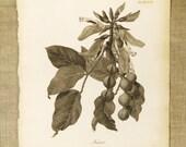 Longman Engraving , Antique Book Plate , Kuara , Plate , Plant , Heath , Botanical , Africa , 19th Century , Antique Prints , Art