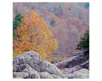 "Fine Art Color Nature Photography of Autumn Scene in Missouri Ozarks - ""Golden Sycamore Among the Rocks"" - Square Print"
