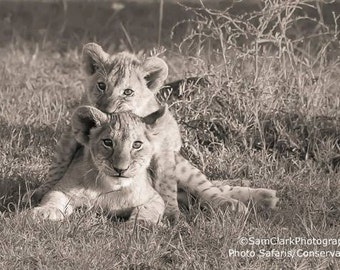 Lion cubs, African lion photo,  safari animals, jungle animals, cute baby animals