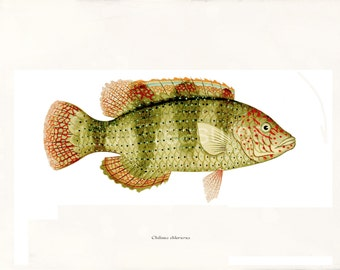 Antique Fish Art Print - Home Decor - Wall Art - Chilinus chlorurus 1