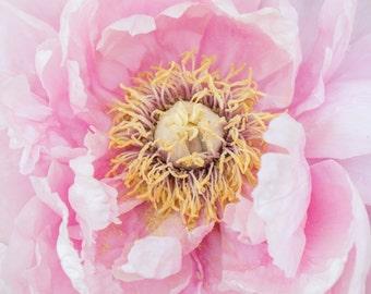 Peony Photography, Peony Photo, Fine Art Photography, Peony Home Decor, Peony Photography, Peonies Art Print, Botanical Art, Pink Home Decor